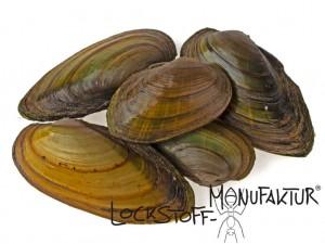 Muscheln zählen in vielen Gewässern zur Nahrung des Karpfens und sind daher sehr attraktiv.